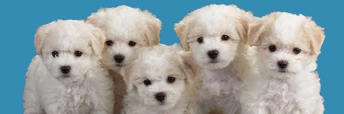 puppies on a blue background